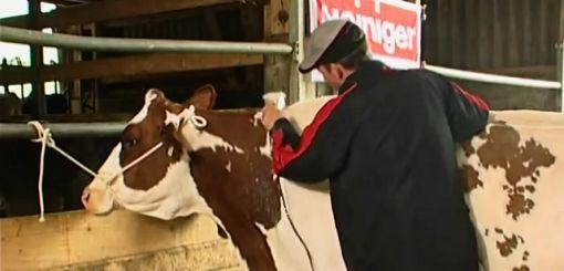 Heiniger cattle clipping